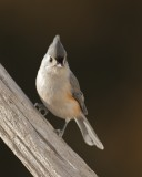 Chickadees, Titmice, Nuthatches & Wrens