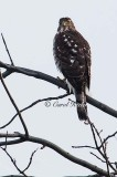 Watchful Coopers Hawk