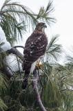 Juvenile Coopers Hawk 2
