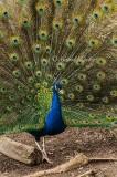Peacock in Full Strut