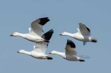 Snow Geese Fly-By
