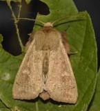 Ursula wainscot  (Leucania ursula), #10461