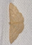 Common Tan Wave (Pleuroprucha insulsaria), #7132