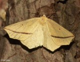 Yellow Slant-Line (Tetracis crocallata),  #6963