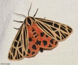 Tiger Moths and Lichen Moths (Family: Erebidae, Subfamily: Arctiinae) 8090 to 8313 ::
