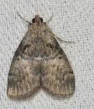 Maple Webworm Moth  (Pococera asperatella), #5606