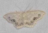 Large lace-border (Scopula limboundata), #7159