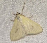 Carrot-seed Moth (Sitochroa palealis), #4986.1