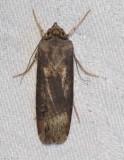 Spotted dart moth (Agrotis stigmosa), #10658