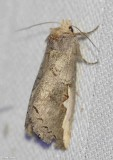 Prominent Moths (Family: Notodontidae) 7952 to 8007