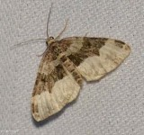 Toothed Brown Carpet  (Xanthorhoe lacustrata), #7390