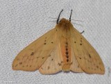 Isabella Tiger moth  (Pyrrharctia isabella), #8129