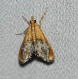 Sooty-winged chalcoela (Chalcoela iphitalis), #4895