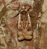 Large yellow underwing (Noctua pronuba), #11003.1