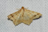 Common angle (Macaria aemulataria), #6326