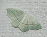 Pale beauty (Campaea perlata), #6796
