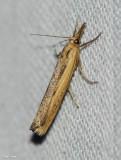 Sod webworm (Pediasia trisecta), #5413