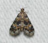 Waterlily Leafcutter Moth (Elophila obliteralis ), #4755