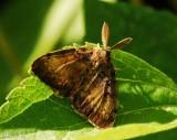 Gypsy moth (Lymantria dispar) male, #8313