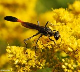 Thread-waisted wasp (Ammophila procera)