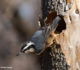 Nuthatches and creepers of the FWG