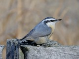 Nuthatches and Woodpeckers