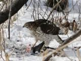 Juvenile Cooper's Hawk with prey