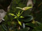 Bulbophyllum blepharistes
