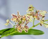 Staurochilus guibertii