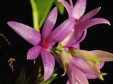Dendrobium tanni