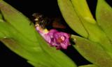 Dendrobium rosellum, 5 mm