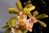 Gastrochilus suavis, flowers 2½  cm