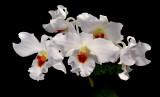 Dendrobium igneoniveum, flowers 4 cm