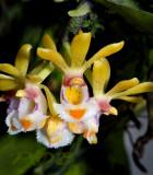 Gastrochilus  obliguus var. suavis, flowers 2½ cm across