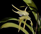 Aerananthes grandiflora