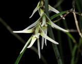 Dendrobium teretifolium variety