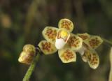 Chiloschista sp. 8 mm