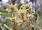 Dendrobium spectabile, natural light
