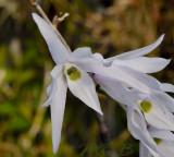 Dendrobium monile