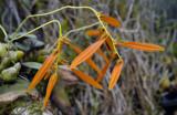Gallery Bulbophyllum species