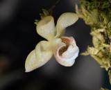 Thrixpernum linearifolium, 1½ cm