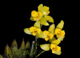 Lycaste mattogrossensis