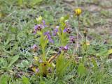 Ophrys umbilicata var. umbilicata