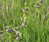 Ophrys kotchyi