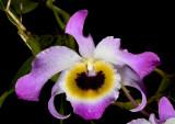 Dendrobium findlayanum var. oculatum