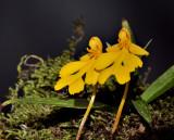 Habenaria xanthocheila
