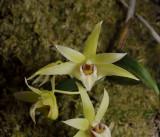 Dendrobium catenatum