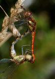 Bruinrode heidelibel paringswiel, Sympetrum striolatum