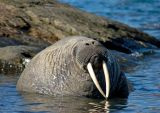 Walrus about to fall asleep