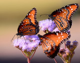 Queen butterflies on Blue Mist Flower